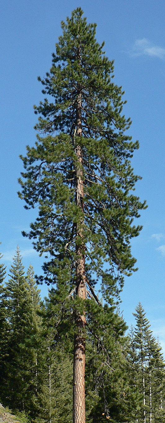 Pinus Ponderosa Pine Tree